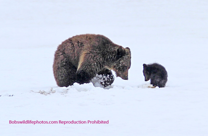 Cub with Mom near Fishing Bridge. Yellowstone National Park.