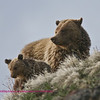 Cub with Mom on Dunraven Pass, Yellowstone National Park