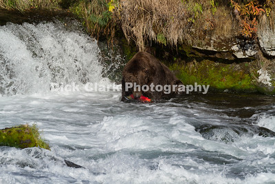 Brown Bears at Katmai NP Alaska 2014-10