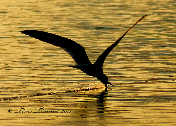 Black Skimmer silhouette