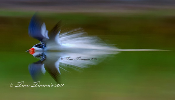 Black Skimmer doing a splashdown.  Taken at 1/50 sec shutter speed.