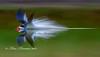 Black Skimmer doing a splashdown.  Taken at 1/50 sec shutter speed.
