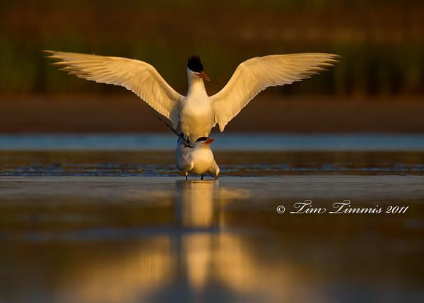 Mating Terns from Bryan Beach, TX