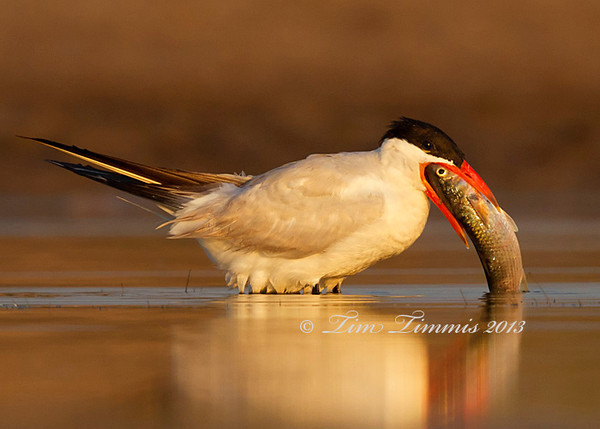 Tern trying to swallow a fish from Bryan Beach, TX