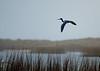 Tricolored Heron at Bryan Beach, TX