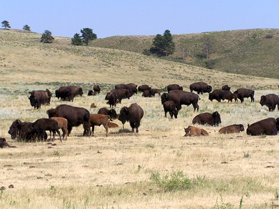 Buffalo - Custer State Park, Black Hills, SD