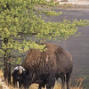 This a great image with the hungry buffalo with snow on his head, the green tree and racing Madison River.  Everything comes together