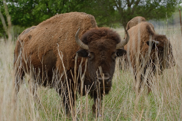 Buffalo are abundant at Stasney's Cook Ranch in Albany, Texas.
