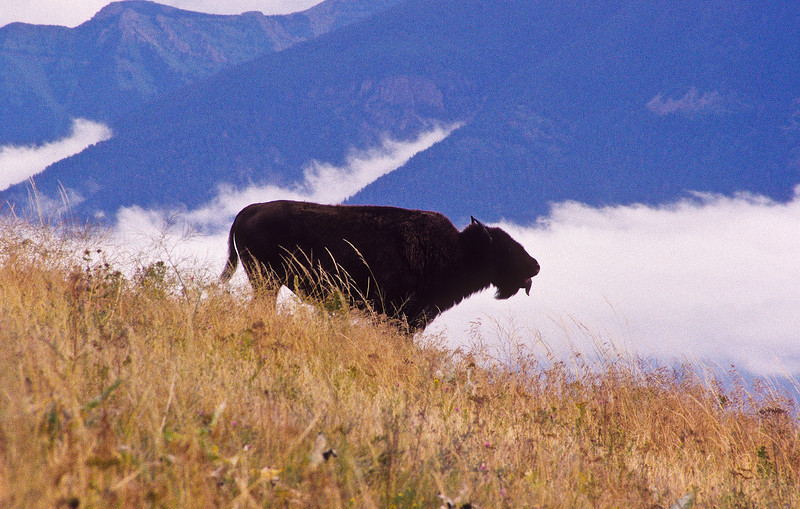 A lone buffalo standing in a high meadow amongst the clouds and mountains.