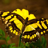 Malachite Butterfly Flower