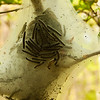 Easter Tent Caterpillar Cocoon