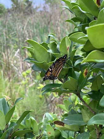 This butterfly was having problems and was on the ground unable to fly. I let it climb onto my hand, and I placed it on the schrub. I checked the next day and it was still there but had died.