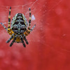 Tind: Cross Spider (2 mm)