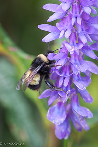 yellowbanded bumble bee (Bombus terricola)