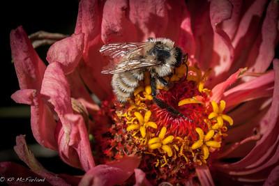 Yellow Bumble Bee (Bombus fervidus)