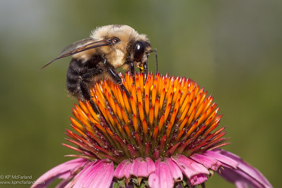 Brown-belted Bumblebee (Bombus griseocollis) male
