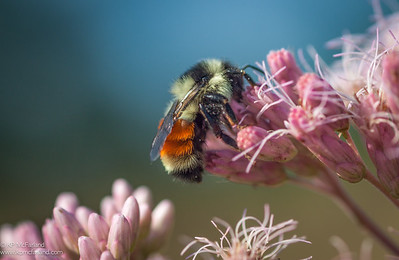 Tri-colored Bumble Bee (Bombus ternarius) queen nectaring Joe-pyed Weed.