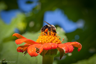 Common eastern bumble bee (Bombus impatiens)
