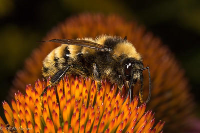 Northern Amber Bumble Bee (Bombus borealis) drone