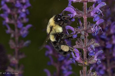 Common Eastern Bumblebee (Bombus impatiens)