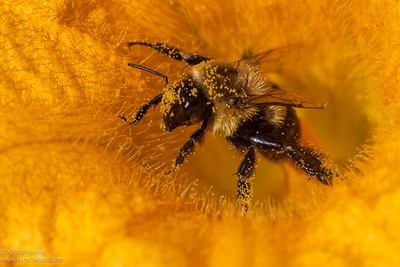 Common eastern bumble bee (Bombus impatiens) at squash flower