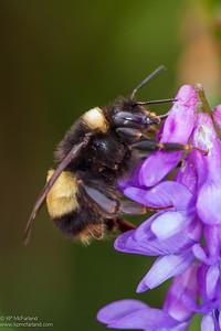 yellowbanded bumble bee (Bombus terricola)