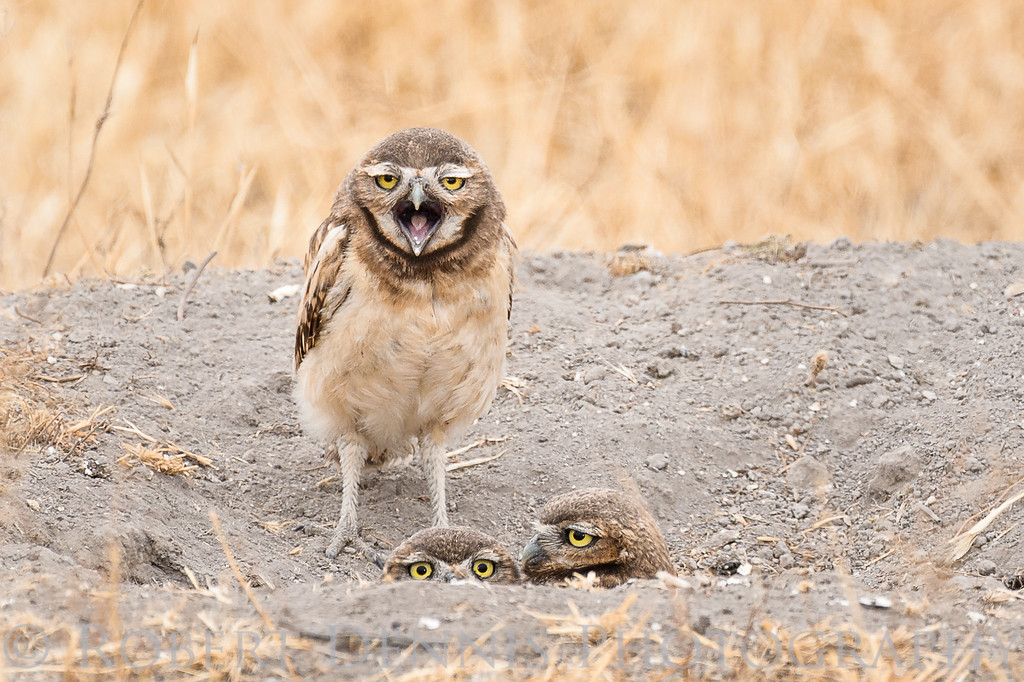 Burrowing Owls in Chino. CA