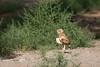 Burrowing Owls-072614-1376