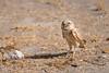 Burrowing Owls-072614-1463