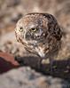 Burrowing Owls-072614-1328