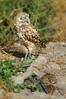Burrowing Owls-072614-2167