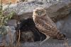 Burrowing Owls-072614-1169
