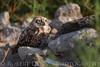 Burrowing Owls-072614-1035