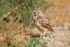 Burrowing Owls-072614-2141