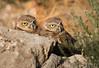 Burrowing Owls-072614-1273