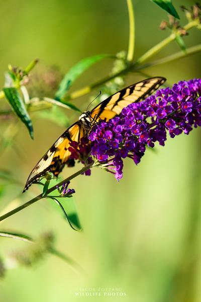 Eastern Swallowtail