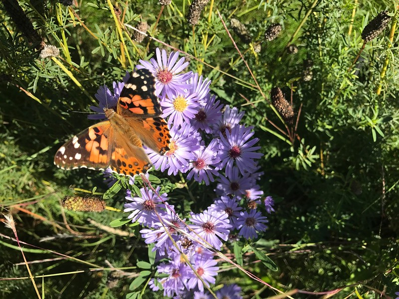 Painted Lady and Aster