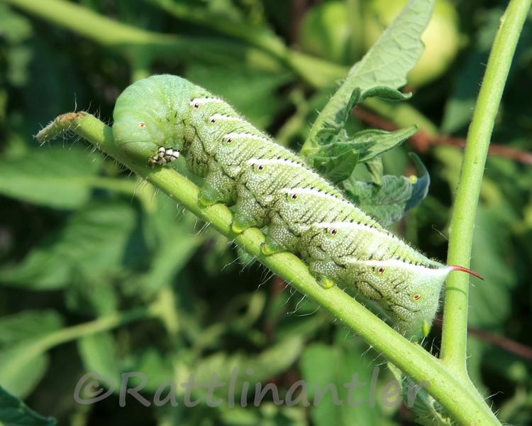 Tobbacco Hornworm