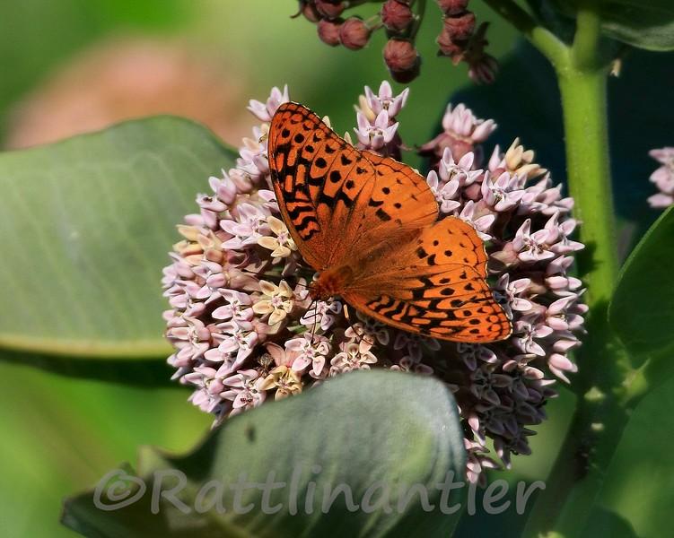Butterfly62309_001.jpg