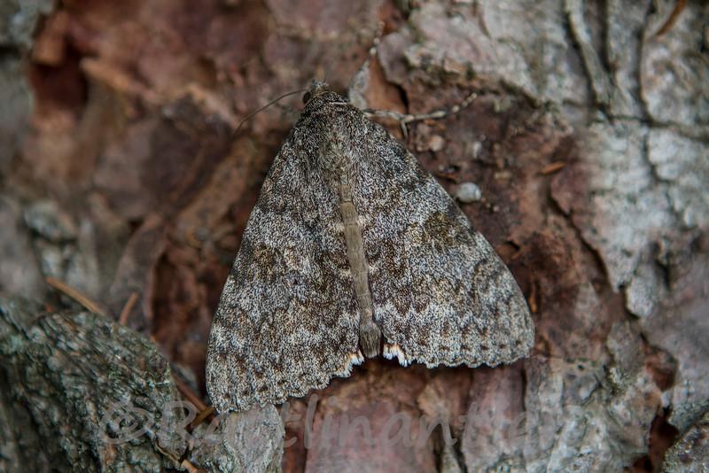 Owlet Moth Species