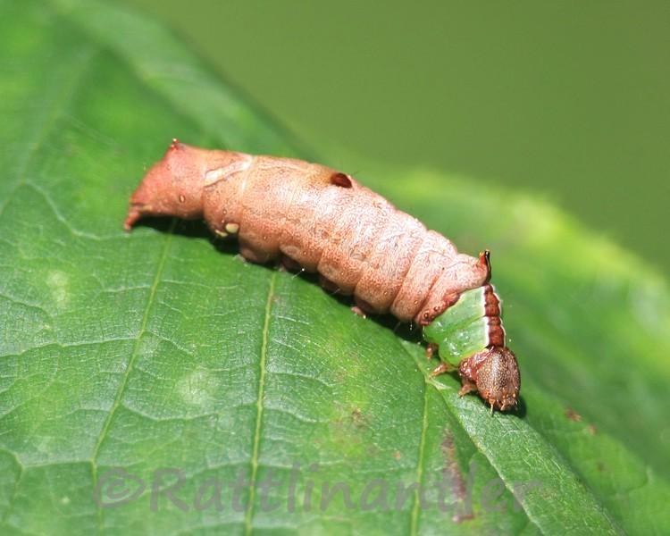 Unicorn Moth Caterpillar