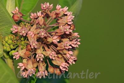 Ailanthus Webworm Moth on Milkweed