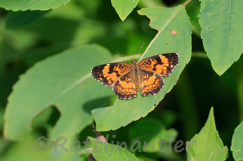 Pearly Cresentspot