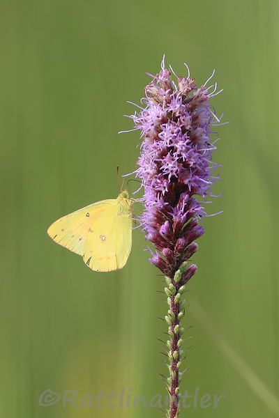 Common Sulfur Butterfly
