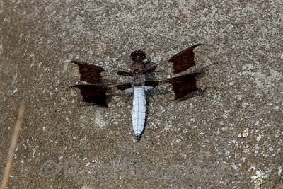 Common Whitetail Dragonfly - Adult Male