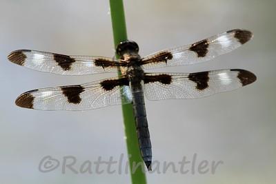 Twelve-Spotted Skimmer - Adult Male