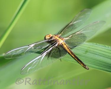 Widow Skimmer - Female