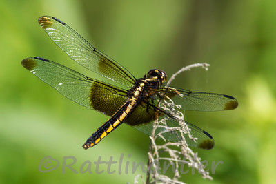 Widow Skimmer - Adult Female