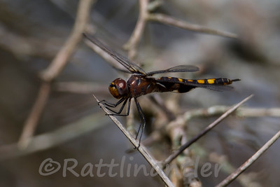 Black Saddlebags Dragonfly female