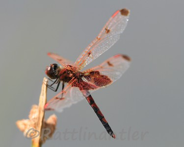 Calico Pennant - Adult Male